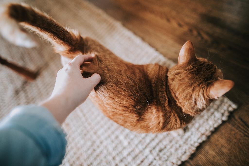 cosa fare quando un animale muore gatto rosso